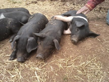 Sweetbrook hogs perfect pork rub